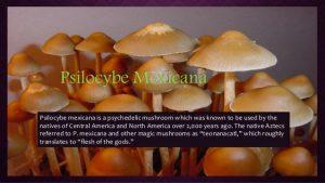 Psilocybe Mexicana Mushrooms